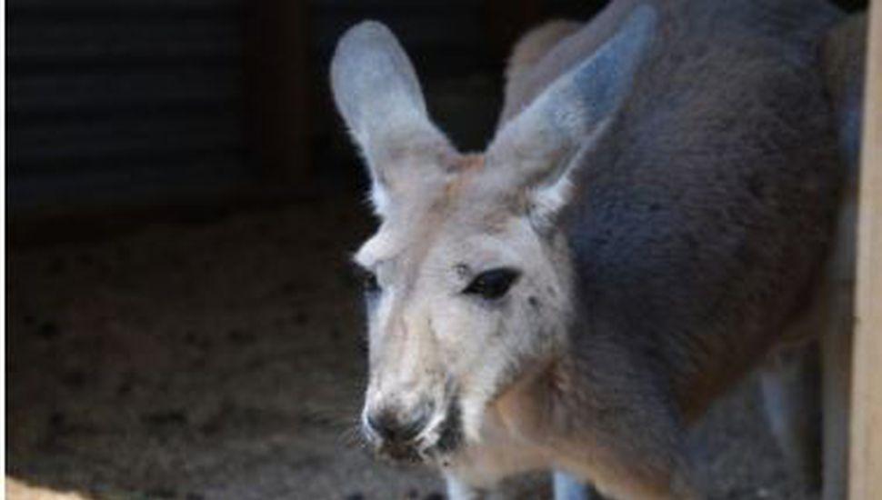 Un canguro murió en un zoológico tras recibir varios piedrazos del público para que saltara