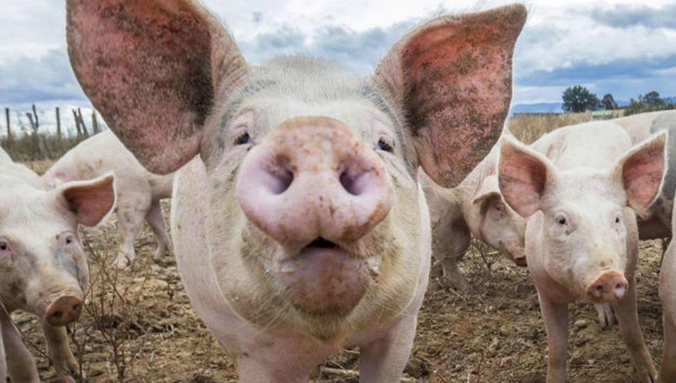 Prohibieron los cerdos en las muestras del campo.