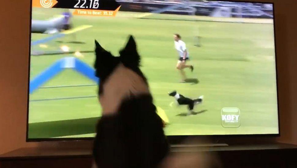 ¡Pura ternura! La reacción de una perra cuando se ve a sí misma ganando un concurso