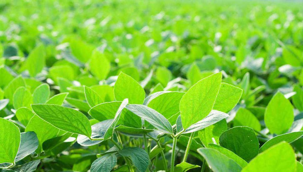 Las lluvias le vinieron muy bien a la soja después de una semana de calor agobiante.
