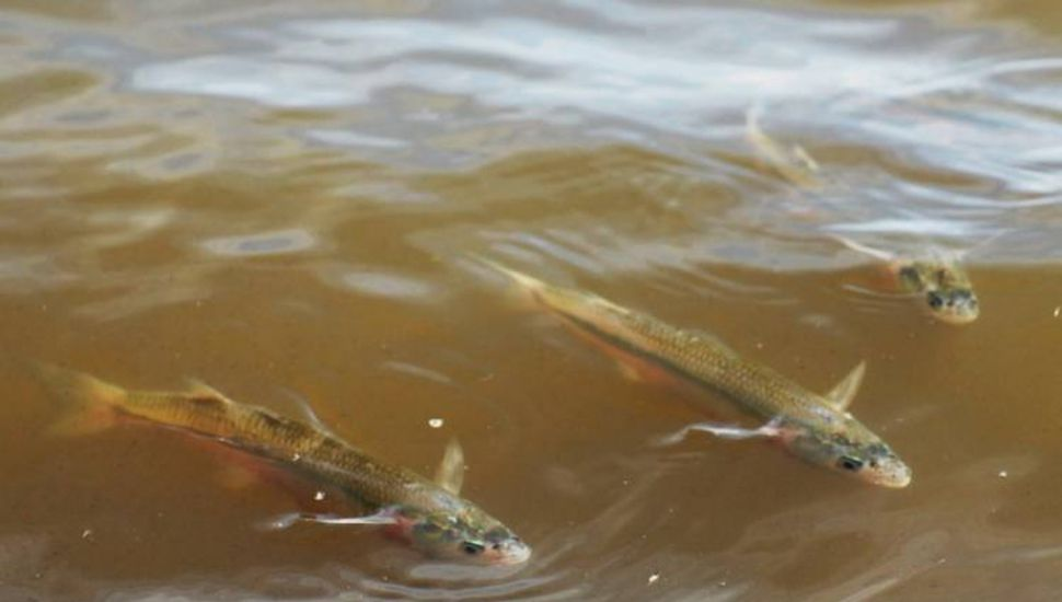 Por tres meses habrá veda de pesca de pejerrey en toda la provincia de Buenos Aires