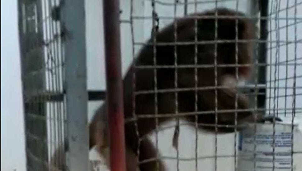 El mono aguarda por su traslado a un hábitat acorde a su naturaleza.