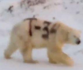 Buscan en el Ártico a un oso polar con un mensaje de la Segunda Guerra Mundial