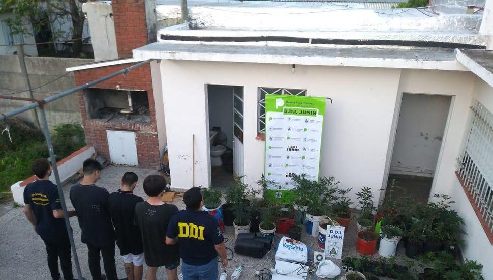Junín: detectaron un invernadero clandestino con más de cien plantas de marihuana