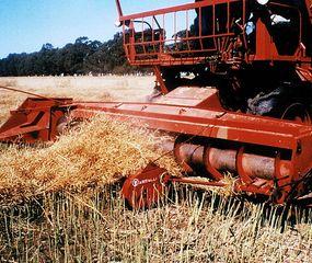 La lluvia trajo algo de alivio, pero habrá menos rindes para el trigo