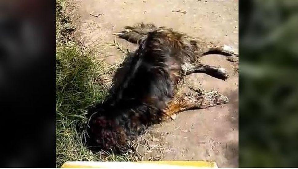 Mechita: envenenaron a más de 20 perros en menos de 15 días