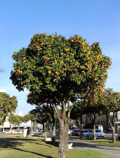 Los árboles frutales colorean las calles de Junín durante la temporada de invierno