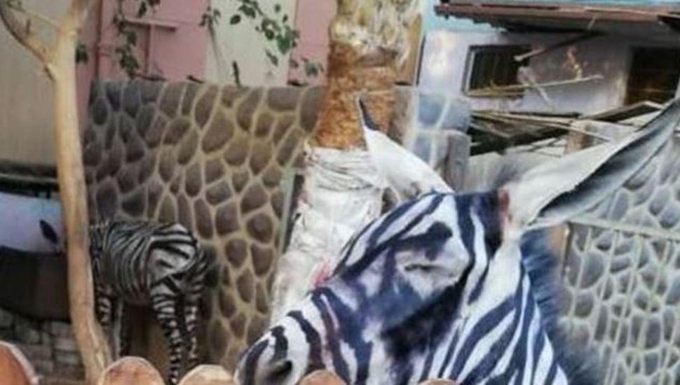 Maltrato animal: pintaron rayas a un burro para que parezca una cebra