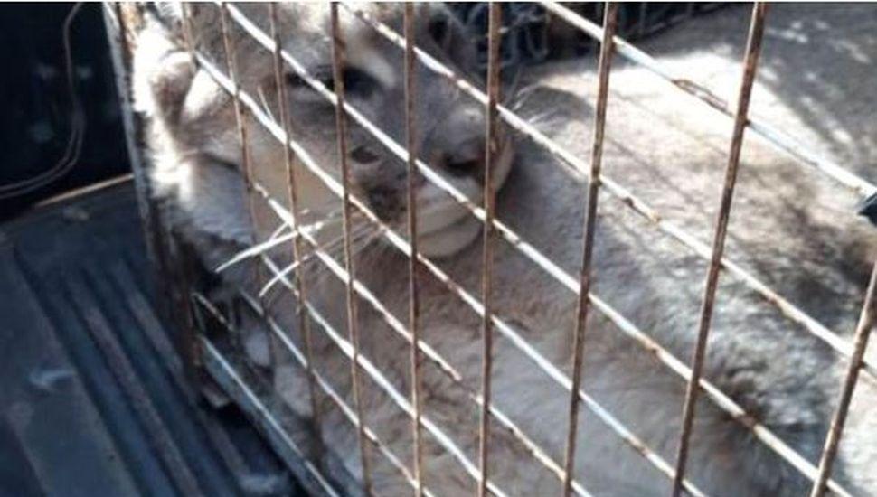 Un puma apareció en una casa de Neuquén y lo atraparon en un impresionante operativo
