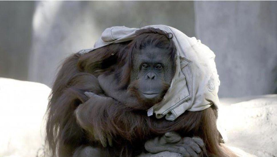 El traslado de la orangutana a EE.UU. costó más de 5 millones de pesos