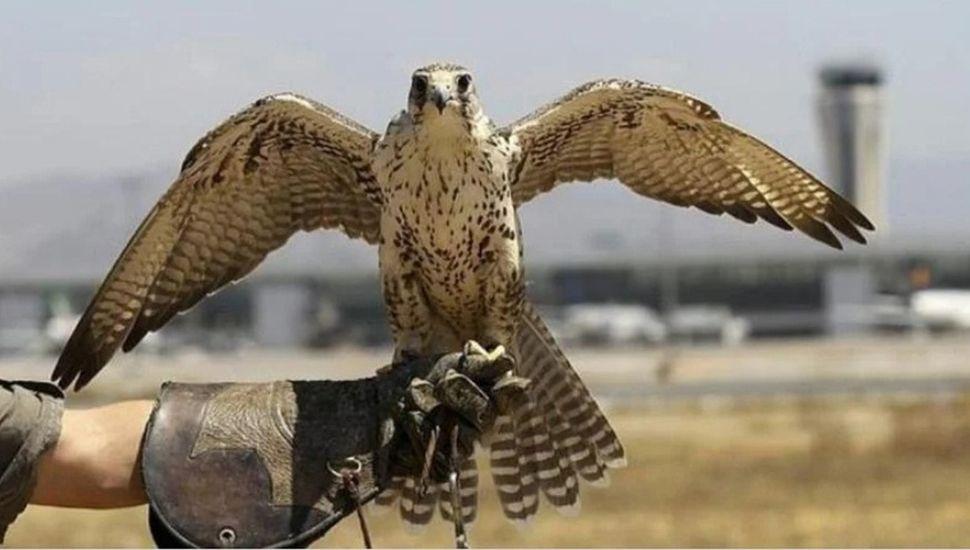 Caza con aves rapaces.