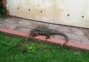 Ante la presencia de lagartos overos, alertan a los vecinos por su preservación