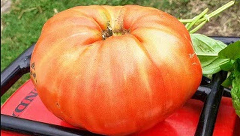 Cosecharon un tomate gigante en Chacabuco