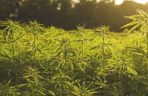 En Junín se promueve la producción de cannabis, una planta que genera importantes expectativas, principalmente en el área medicinal.