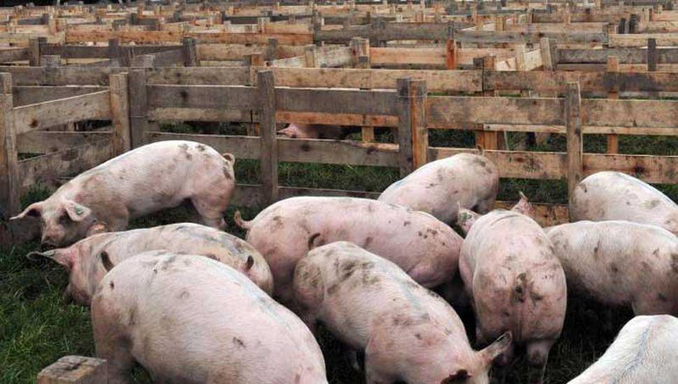 Argentina, libre de la Peste Porcina  Clásica, estatus que hay que cuidar