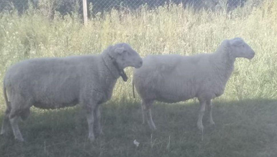 El tambo cuenta con 48 ovejas y dos carneros para la producción.