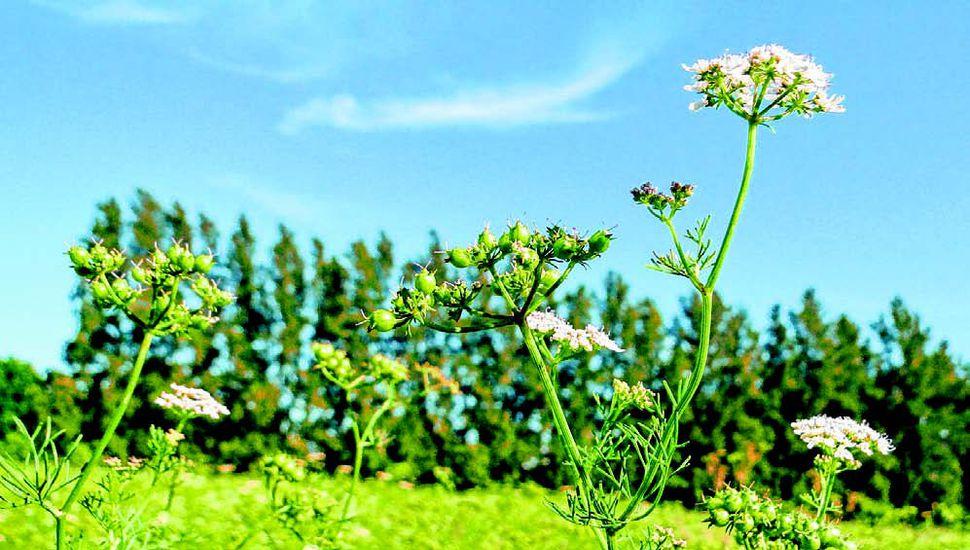 Coriandro es una hierba de aroma cítrico, mentolado, intenso, con propiedades benéficas para la salud.