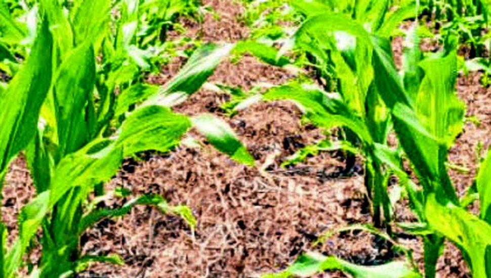 A excepción del nitrógeno, la mayoría de los nutrientes se restituye a través de la aplicación de fertilizantes o de abonos orgánicos.