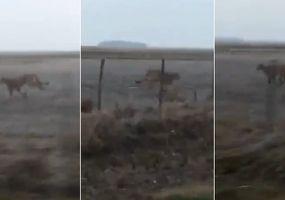 Video: Filman a un puma en un campo de Rojas