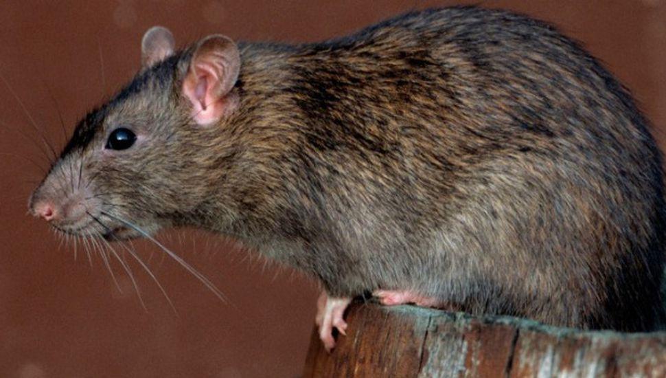 Alerta en Chacabuco por posible caso de hantavirus