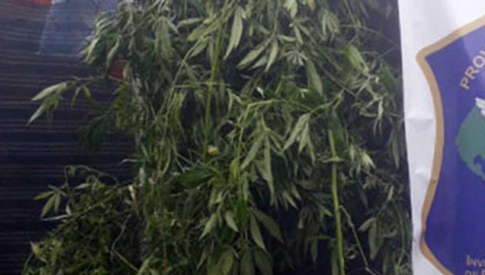 Secuestro de plantas  de marihuana en Rojas
