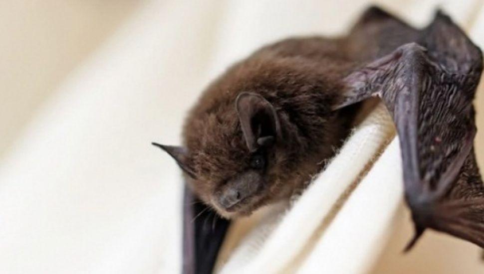 Detectaron un murciélago con rabia en Bragado