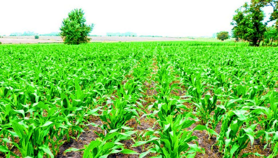 Las rotaciones agrícolas con gramíneas protegen los suelos.