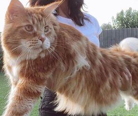 """Conocé a """"Omar"""", el gato más grande del mundo"""