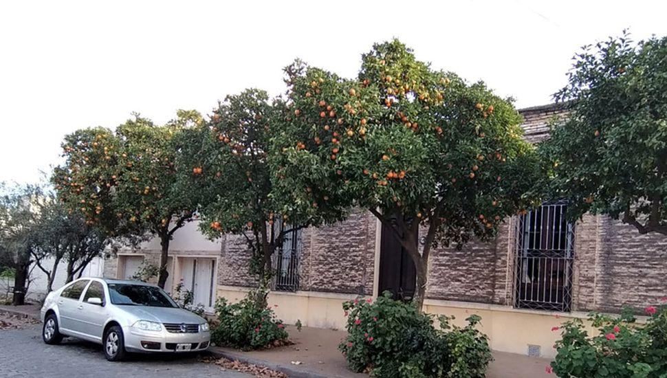 Naranjos en el barrio El Molino.