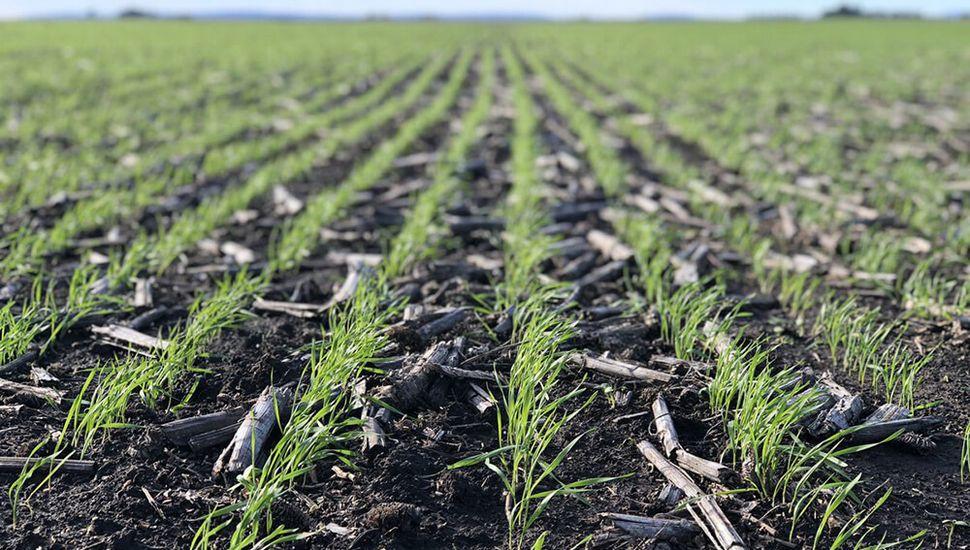 De la superficie sembrada, el 20% se encuentra en emergencia.