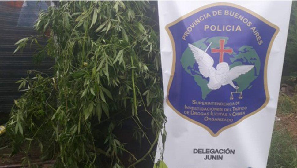 Secuestraron plantas de marihuana en Rojas