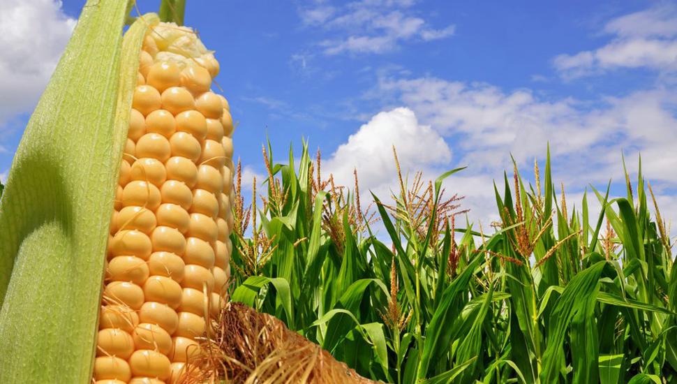 El maíz, que tiene capacidad de adaptación, es uno de los tres cereales más cultivados del mundo.