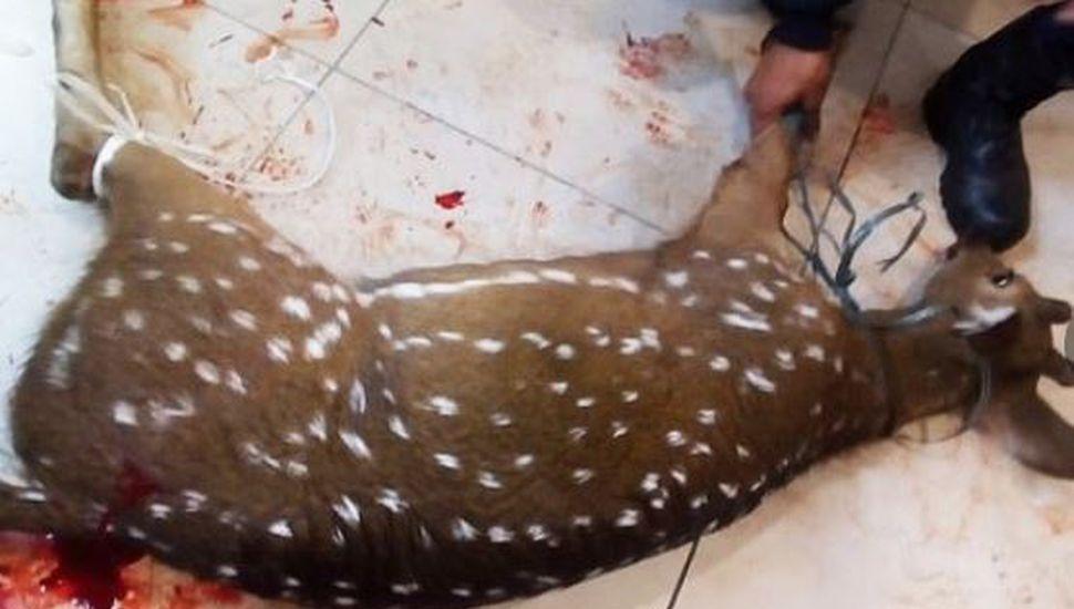 Ciervo atacado por una jauría de perros se refugió en un cajero