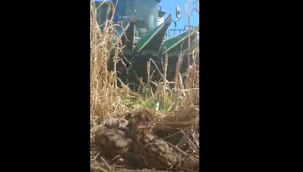 Sorpresa: un productor rural encontró cuatro crías de puma en medio del campo