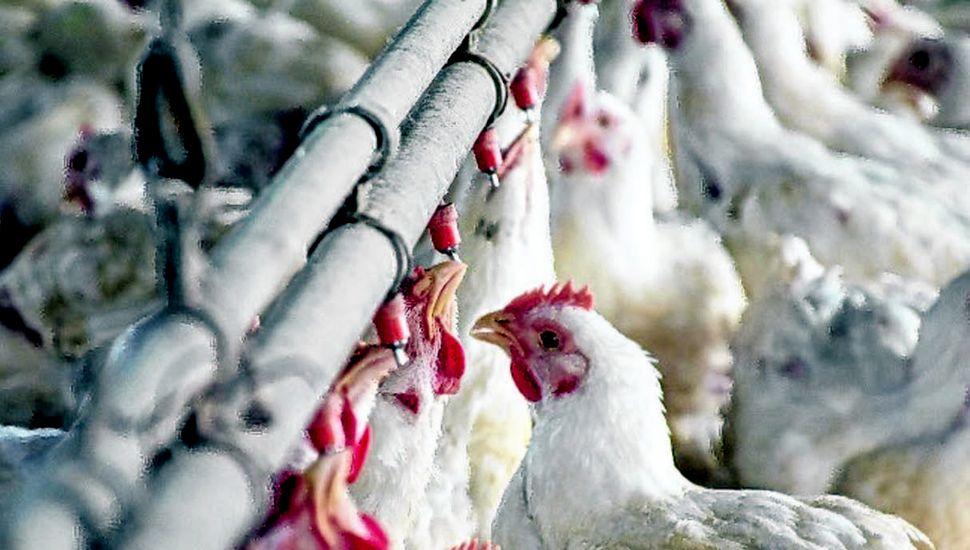 La actividad avícola tiene amplio margen para desarrollarse y ganar mercado interno y externo.