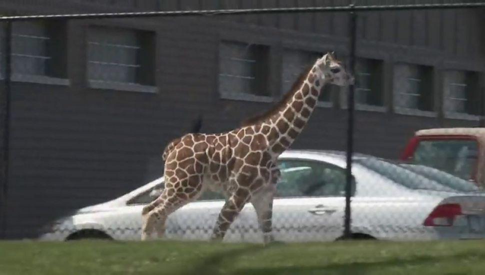 Una jirafa bebé se escapó de su jaula y casi logra salir del zoológico