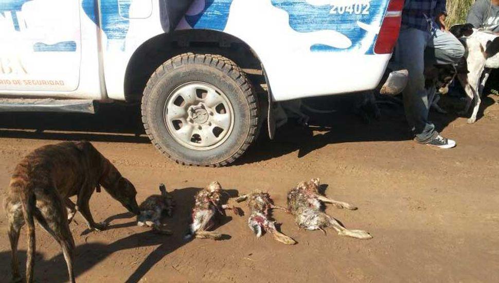 Confiscaron varias liebres muertas por perros galgos.