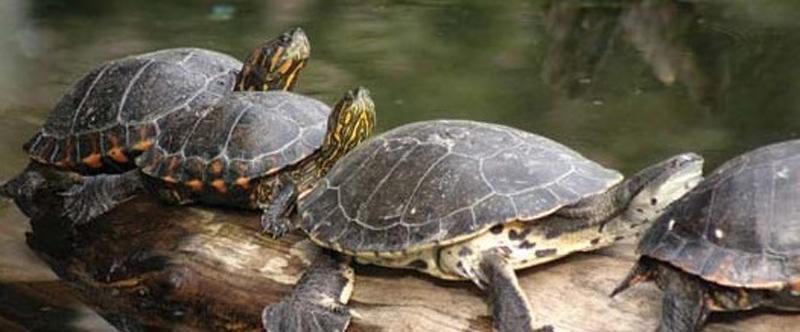 tortuga de agua argentina