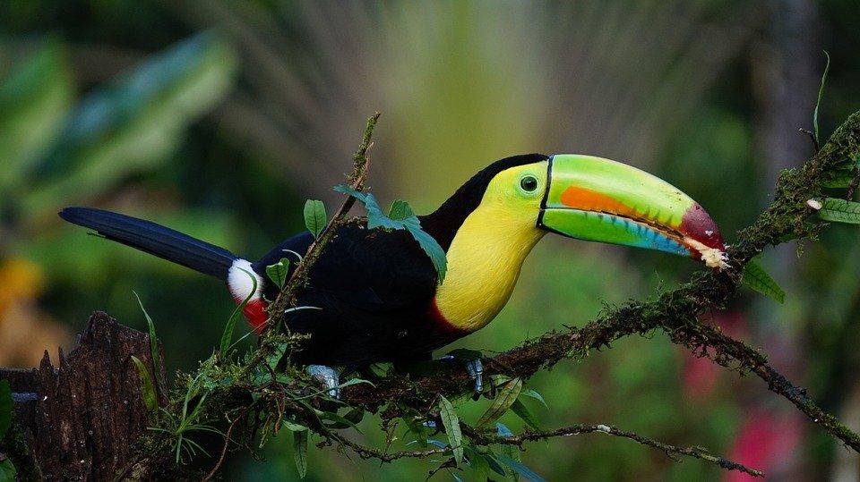 toekan in het regenwoud in Costa Rica