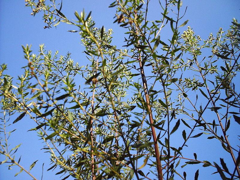 Baccharis d'où est issu la propolis verte