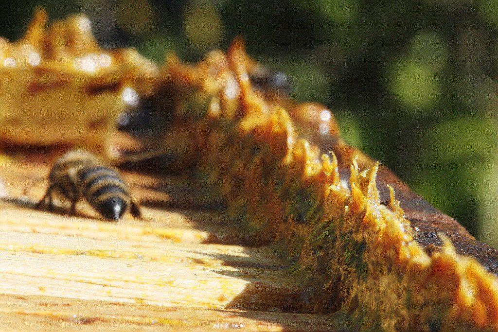 La propolis, une substance résineuse qui protège la ruche.