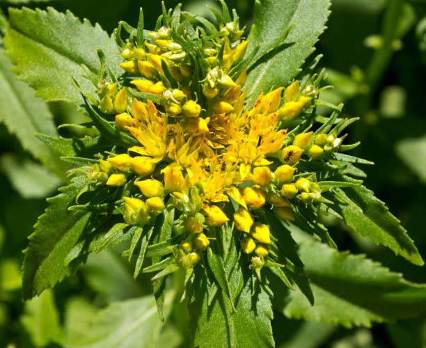 fleur de rhodiola