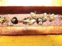abeilles et propolis rouge