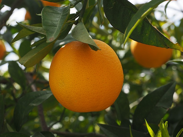 Orange: bienfaits, propriétés et vertus de la vitamine C, présente en abondance dans les oranges.