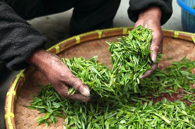 thé vert, une source de l-theanine