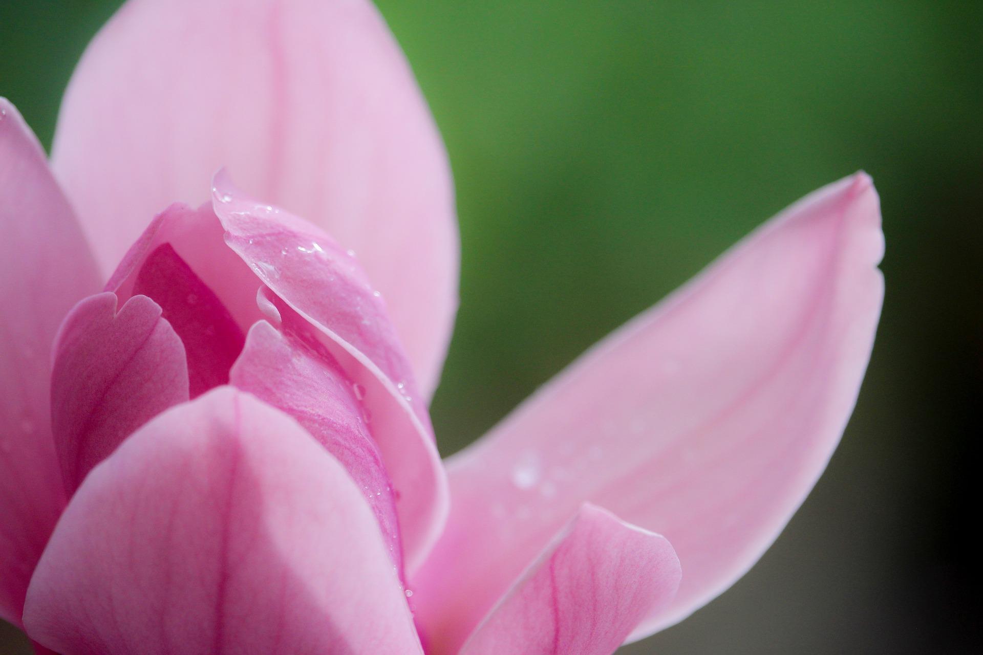L'honokiol est une substance anti-stress présente dans les magnolias.
