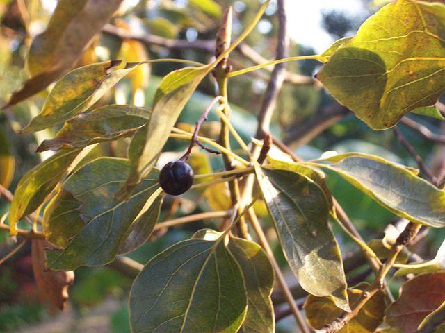 Fruits de l'arbre à Camphre