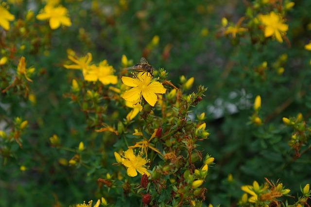Millpertuis ou millpertuis et abeille