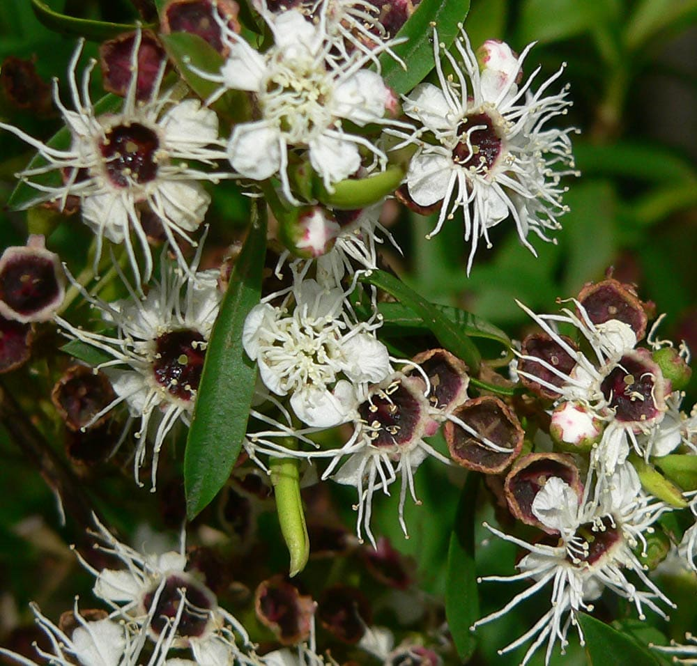 Fleurs de Kunzea