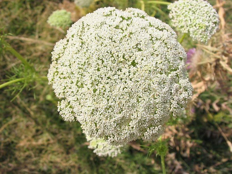 Fleurs de Khella